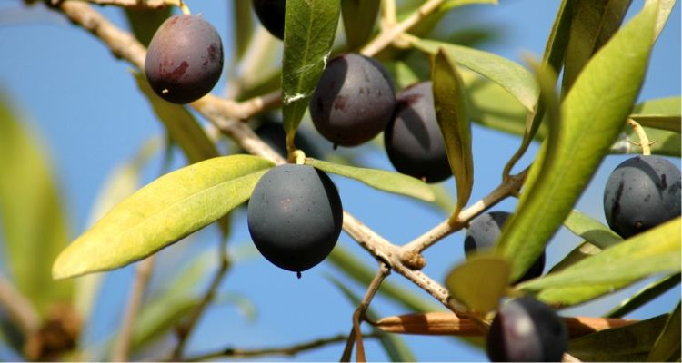 Weight Loss Tips - The Olive Tree